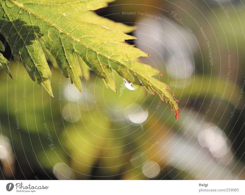 damals...im Sommer... Umwelt Natur Pflanze Wasser Wetter Regen Blatt Grünpflanze Ahorn Ahornblatt Blattadern Garten Ornament Tropfen Lichtpunkt glänzend hängen