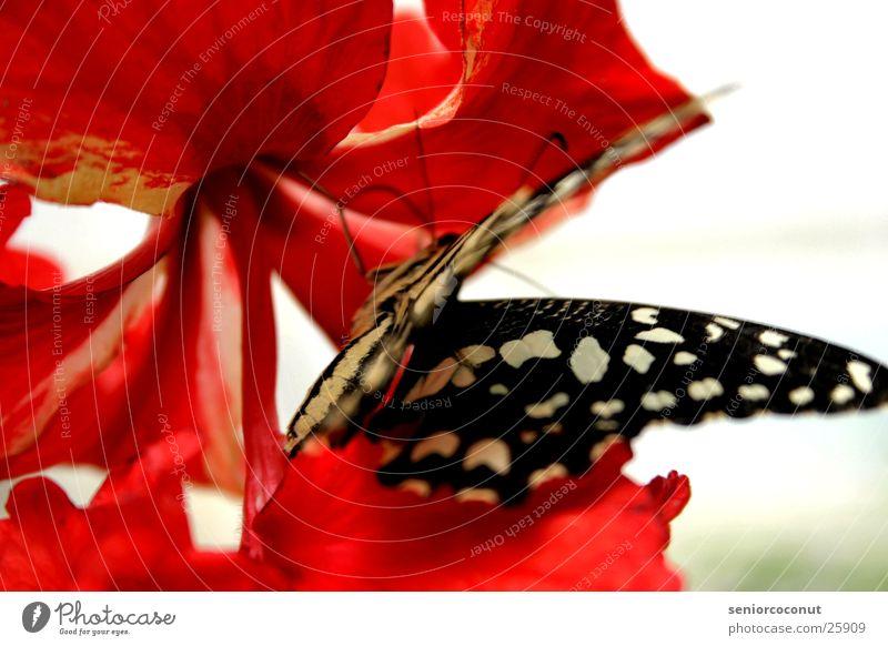 BLACKWHITERED Blume Blüte Beine Flügel Insekt Schmetterling Fühler