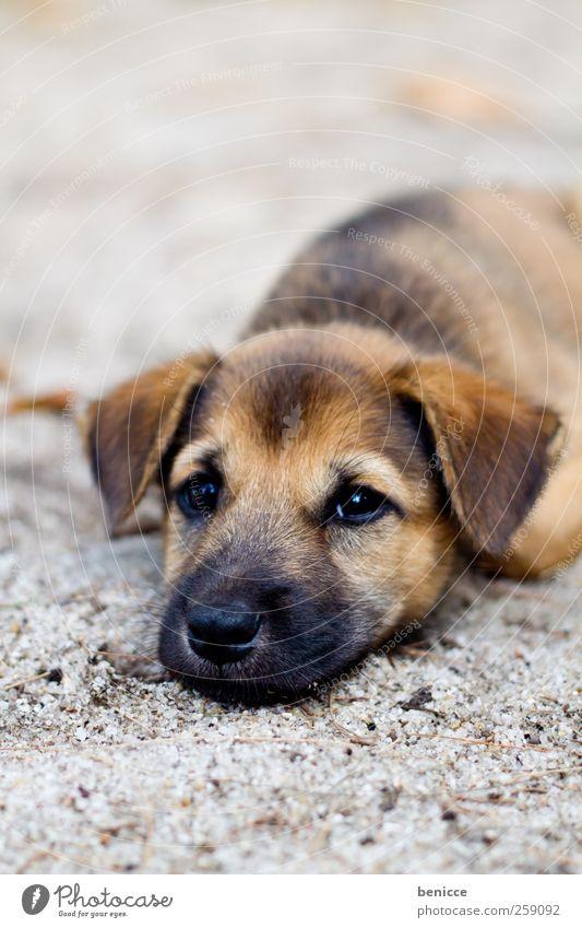 pup Welpe Hund liegen Boden Traurigkeit Müdigkeit schlafen Hundeblick Armut niedlich schön süß Sand Strand Trauer Tier Haustier
