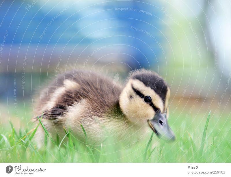 Entchen Gras Wiese Tier Vogel 1 Tierjunges kuschlig klein Neugier niedlich Küken Entenküken Farbfoto Außenaufnahme Nahaufnahme Menschenleer Textfreiraum oben