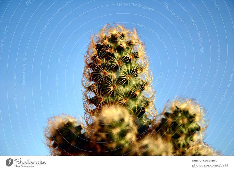 El Kaktus Himmel grün Pflanze Stachel