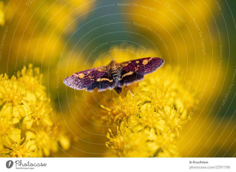 Schmetterling Sommer Pflanze Blüte berühren fliegen nah gelb schön Garten Park Insekt Natur Umwelt natürlich sitzen Flügel mehrfarbig Wiese Farbfoto