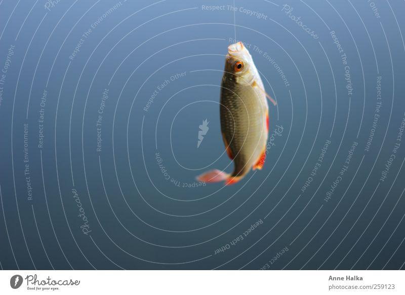 Rotfeder am Haken2 Natur blau Wasser Erholung ruhig Tier Tierjunges Freiheit Schwimmen & Baden Freizeit & Hobby Design elegant Wildtier Erfolg Fisch