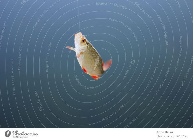Rotfeder am Haken4 Angeln Jagd Umwelt Natur Pflanze Wasser Teich See Bach Fluss Tier Fisch Schuppen 1 fangen Fressen hängen kalt nass rebellisch schleimig blau