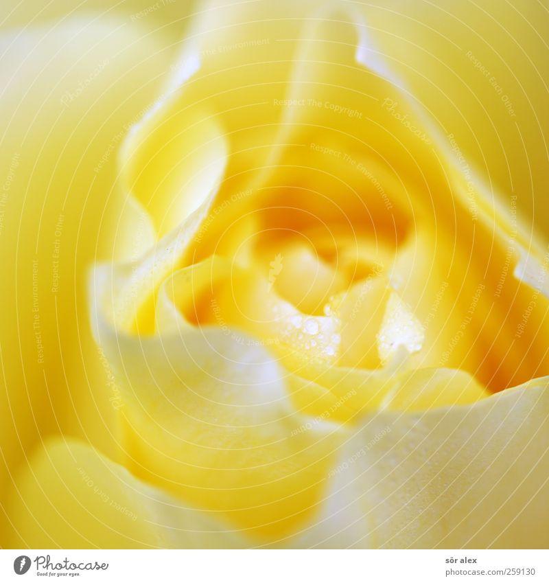 zartes Gelb Natur schön Pflanze Blume gelb Liebe feminin Blüte natürlich elegant nass Wassertropfen einzigartig Romantik Rose Wellness