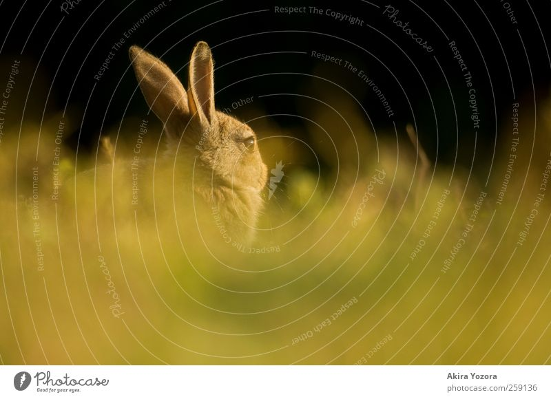 Hidden rabbit Natur grün Sommer Tier schwarz gelb Wiese Gras Frühling braun sitzen warten Wildtier beobachten Hase & Kaninchen Haustier