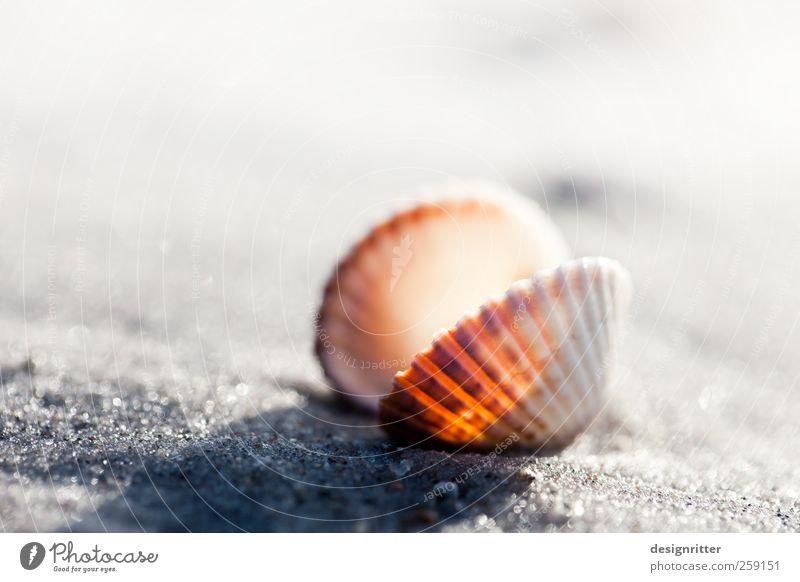 Harte Schale … Ferien & Urlaub & Reisen Tourismus Sommerurlaub Sand Strand Ostsee Meer Totes Tier Muschel Herzmuschel Meerestier Meeresfrüchte Weichtier liegen
