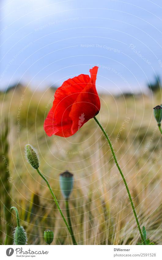 Mohnblume Himmel Natur Sommer Pflanze schön Landschaft rot Blume Blatt Umwelt Blüte Frühling Feld Wachstum Landwirtschaft Getreide