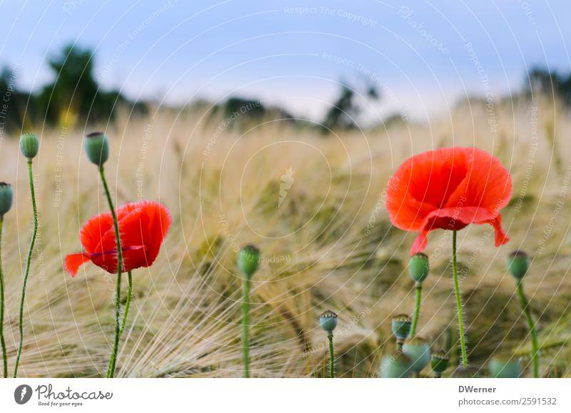 Mohnblume Umwelt Natur Landschaft Pflanze Himmel Frühling Sommer Schönes Wetter Blume Blatt Blüte Garten Feld hängen Wachstum Sauberkeit schön rot Zufriedenheit