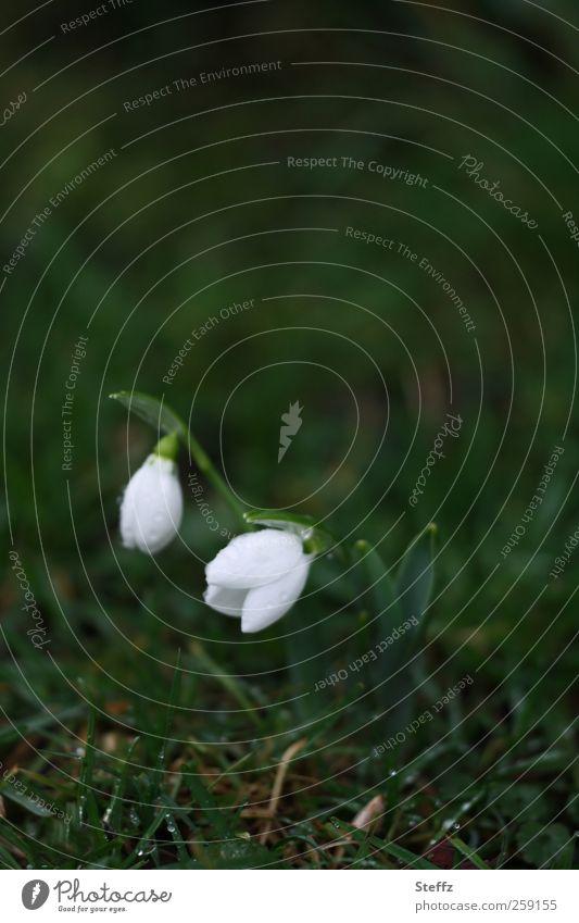 zarte Frühblüher im März Schneeglöckchen heimisch nordisch zarte Blüten zarte Blumen Frühlingsblume Frühlingsboten Vorboten dunkelgrün Frühlingsregen Regen