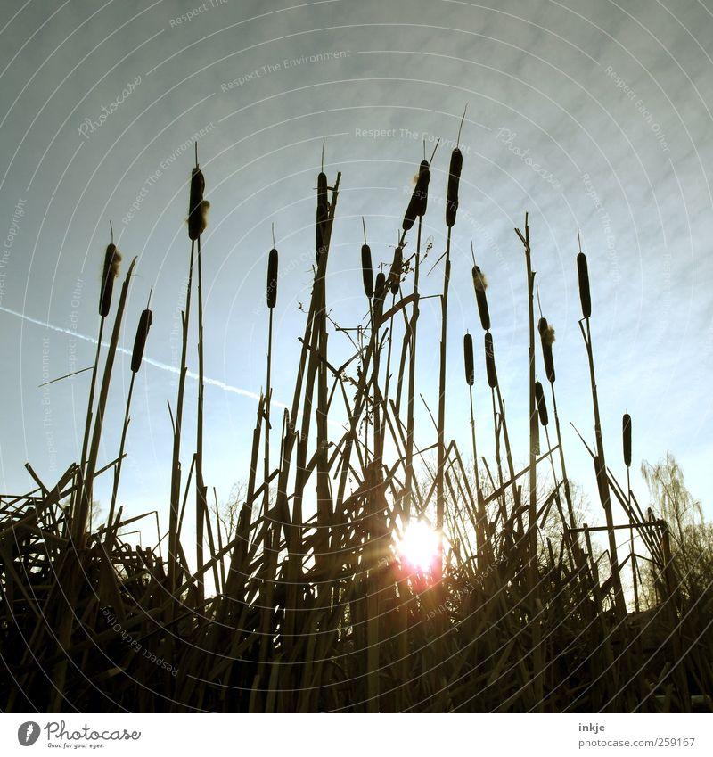 Rohrkolben Umwelt Natur Pflanze Himmel Herbst Winter Klima Wetter Schönes Wetter Gras Rohrkolbengewächse Schilfrohr Park Seeufer Teich leuchten Wachstum dunkel