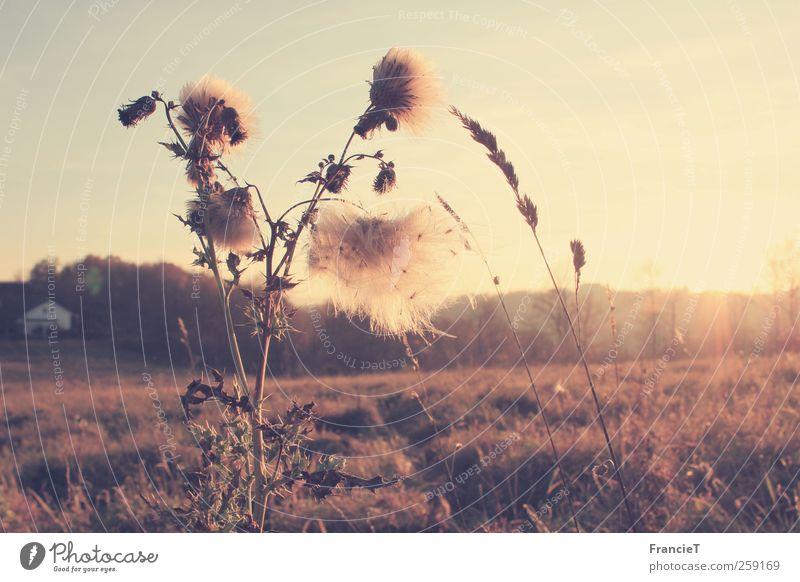 Spätherbst Natur weiß Pflanze Sonne Blume ruhig gelb Umwelt Landschaft Herbst Gras Wärme Stimmung braun Feld gold