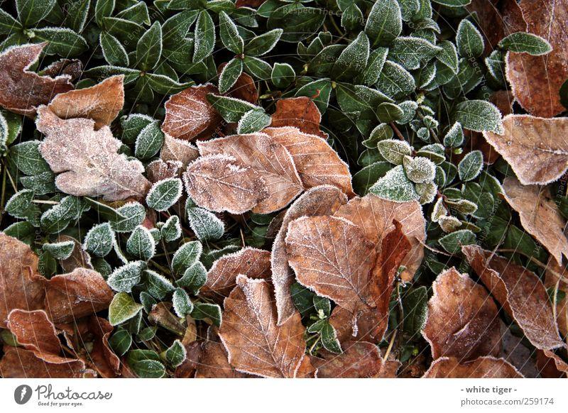 Blätterwald Natur Pflanze Winter Eis Frost kalt braun grün weiß ruhig Blatt Raureif Farbfoto Außenaufnahme Nahaufnahme Tag Kontrast Starke Tiefenschärfe
