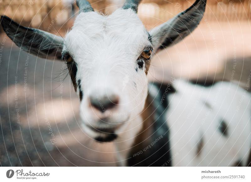 Hallo! Umwelt Frühling Sommer Klima Schönes Wetter Feld Nutztier Tiergesicht Fell Zoo Streichelzoo Ziegen Zicklein Tierjunges beobachten Blick Duft natürlich