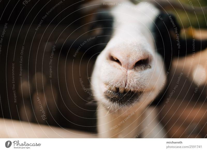 Ziegenzähne Umwelt Natur Klima Wiese Feld Tiergesicht Fell Zoo Streichelzoo Ziegenfell Zicklein Tierjunges lecker lustig nah niedlich wild Ehrlichkeit Neugier