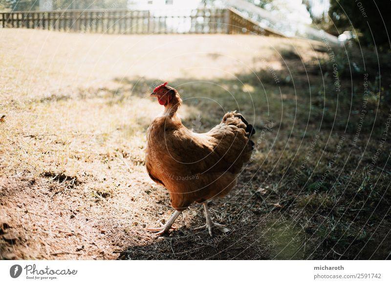 Henne Umwelt Klima Schönes Wetter Gras Sträucher Wiese Feld Haustier Nutztier Tiergesicht Fell Krallen Zoo Streichelzoo Haushuhn füttern laufen rennen Blick Ei