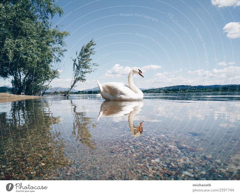 zwei Schwäne Umwelt Natur Tier Sand Wolken Frühling Sommer Klima Klimawandel Wetter Schönes Wetter Baum Park Wiese Küste Seeufer Lago Maggiore Wildtier Schwan
