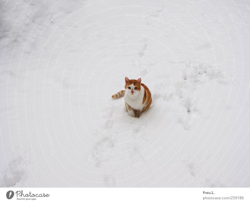 Schneekater Katze schön Winter Tier Schneefall sitzen niedlich Neugier Mut Wachsamkeit Haustier kuschlig rothaarig Tigerfellmuster
