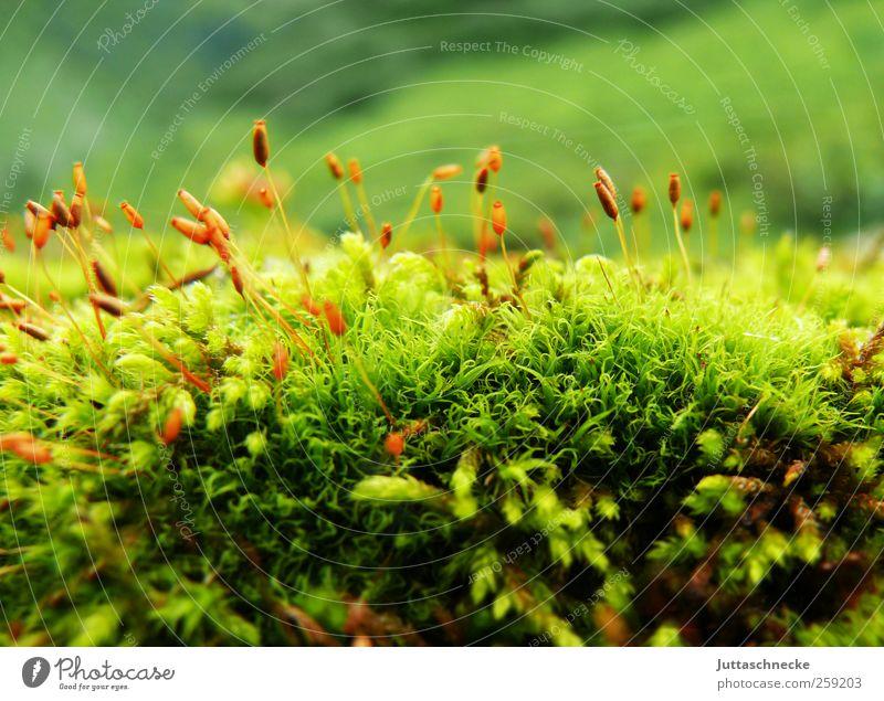 So klein, so zart Umwelt Natur Landschaft Pflanze Erde Frühling Sommer Moos Grünpflanze Wildpflanze Alpen Moor Sumpf Menschenleer Blühend verblüht Wachstum