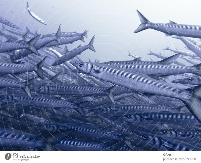 Große Fische harmonisch Erholung ruhig Meditation tauchen Ferien & Urlaub & Reisen Tourismus Abenteuer Freiheit Meer Umwelt Natur Tier Wasser Klimawandel