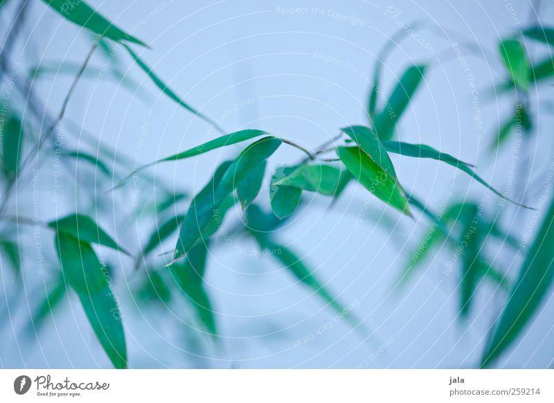 bambus Natur blau grün Pflanze Blatt natürlich ästhetisch Sträucher Grünpflanze Bambus