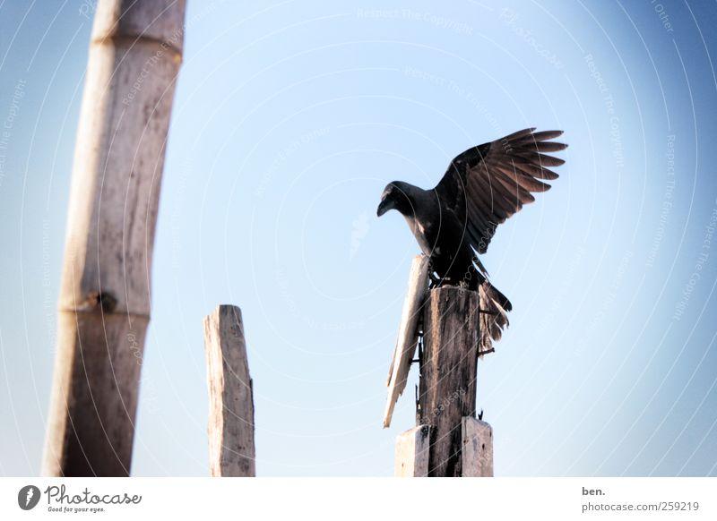 Observer Himmel Wolkenloser Himmel Schönes Wetter Bambusrohr Zaunpfahl Tier Wildtier Vogel Rabenvögel Krähe Flügel beobachten warten hell Farbfoto Außenaufnahme