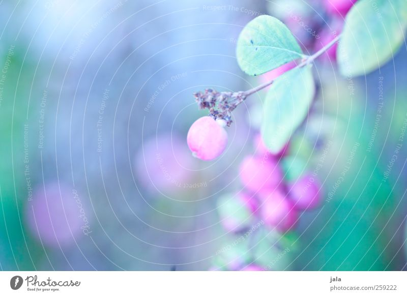 purpurbeere Natur blau Pflanze grau Frühling rosa natürlich Sträucher