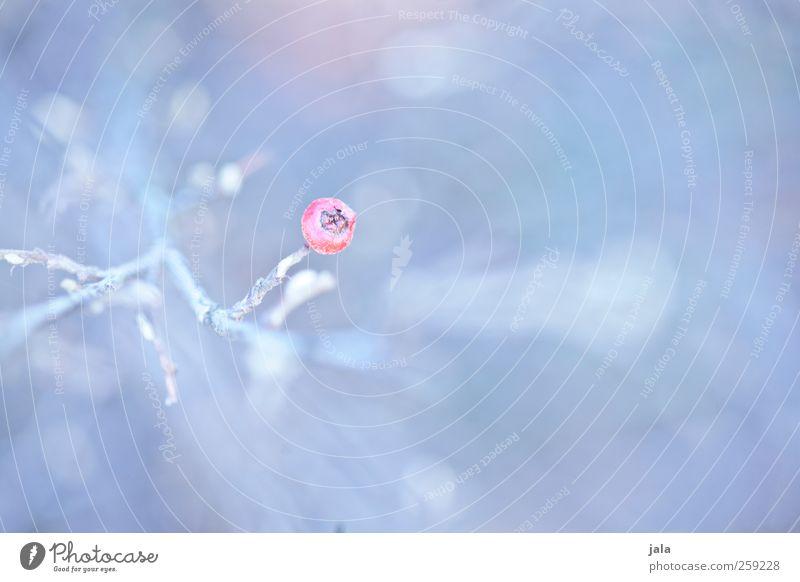 beere Natur Pflanze Frühling Sträucher Wildpflanze ästhetisch natürlich blau violett rosa Farbfoto Außenaufnahme Menschenleer Textfreiraum rechts Tag