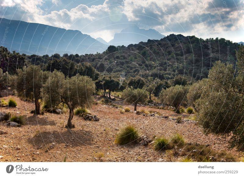 Mallorca XII Umwelt Natur Landschaft Pflanze Erde Himmel Wolken Sommer Schönes Wetter Wärme Baum Sträucher Wildpflanze Olivenbaum Garten Wald Hügel Insel