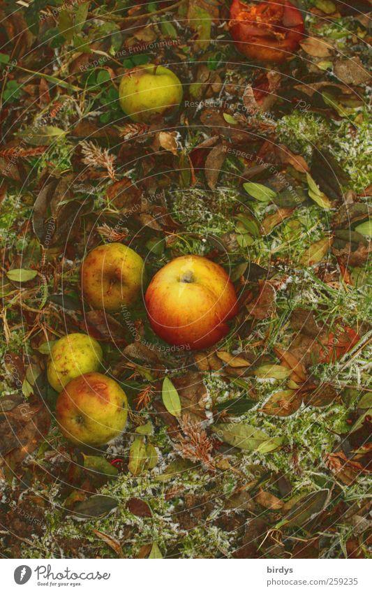 Fallobst Natur Winter Herbst liegen Eis natürlich mehrere ästhetisch Wandel & Veränderung Frost Freundlichkeit Apfel Duft Herbstlaub malerisch Raureif
