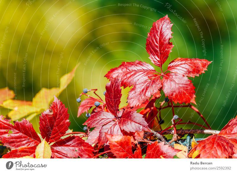 Rote Herbstbaumblätter in der Herbstsaison Blatt Baum Hintergrundbild Landschaft Wald