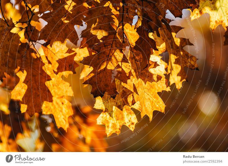 Gelbe und orange Herbstbaumblätter in der Herbstsaison Blatt Baum Hintergrundbild Landschaft Wald gelb Natur Jahreszeiten Orange Ahorn gold Park schön rot