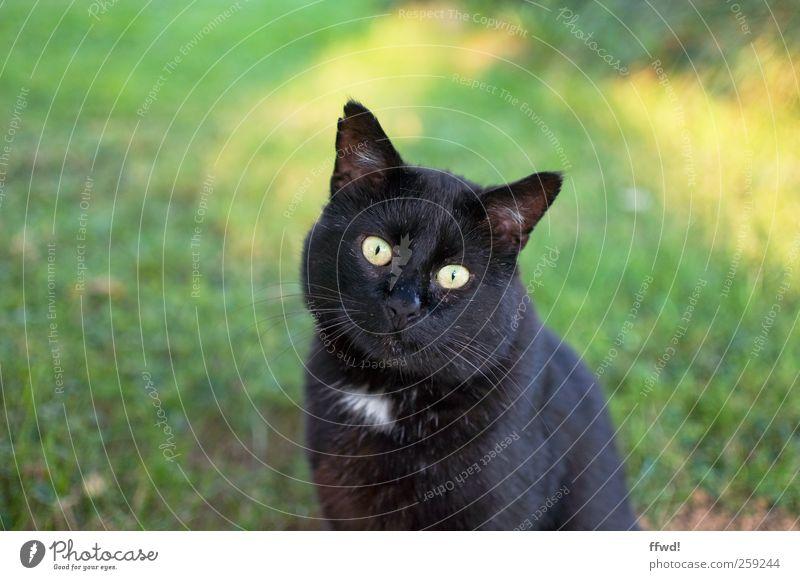 Carl-Heinz Tier Haustier Katze Tiergesicht 1 beobachten hocken Blick sitzen Neugier Gelassenheit geduldig ruhig Interesse Farbfoto Außenaufnahme Tag