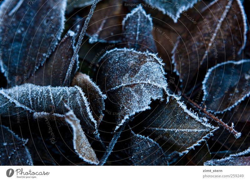 Blattspitze Natur Pflanze Herbst Winter alt frieren dunkel natürlich braun weiß ruhig Tod Verfall Vergänglichkeit Wandel & Veränderung Eis Frost Eiskristall