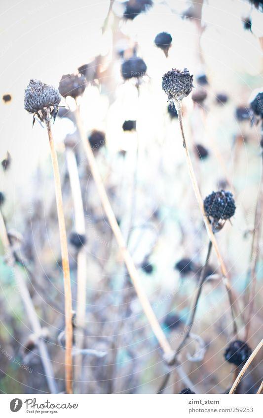 Winterzart Natur Pflanze Herbst Eis Frost Sträucher Garten alt Blühend dehydrieren kalt braun weiß Schüchternheit Einsamkeit Kreativität Stimmung Tod Umwelt