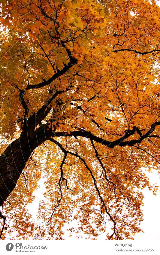 goldener Herbst ruhig Natur Pflanze Schönes Wetter Baum Zufriedenheit Farbfoto Außenaufnahme Menschenleer Tag Sonnenlicht Froschperspektive