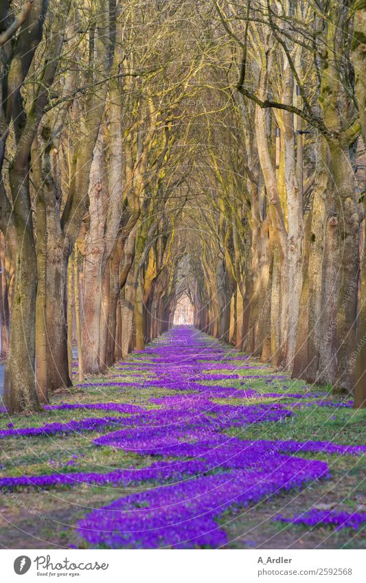 1.000.000 Krokusse Natur Landschaft Pflanze Schönes Wetter Baum Blume Gras Blüte Park Wiese Wald schön braun grün violett Allee Farbfoto Außenaufnahme Tag