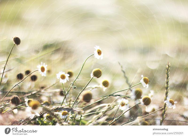 sommerwiese Pflanze Sommer Blume Erholung Wiese Umwelt Gefühle Bewegung Gras Wärme Blüte hell Feld Wachstum Vergänglichkeit Idylle