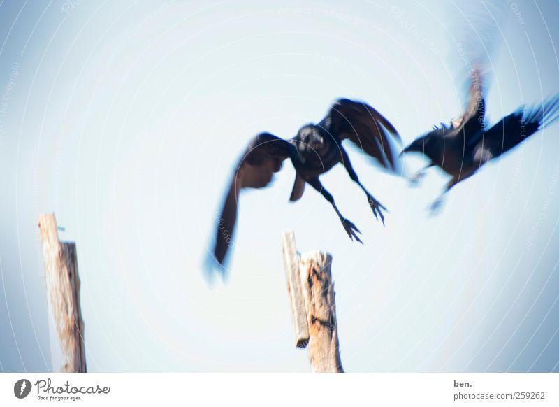 Come, Go Natur Wolkenloser Himmel Schönes Wetter Wärme Bambusrohr Zaunpfahl Tier Vogel Rabenvögel Krähe 2 Brunft berühren fliegen Jagd kämpfen Kommunizieren