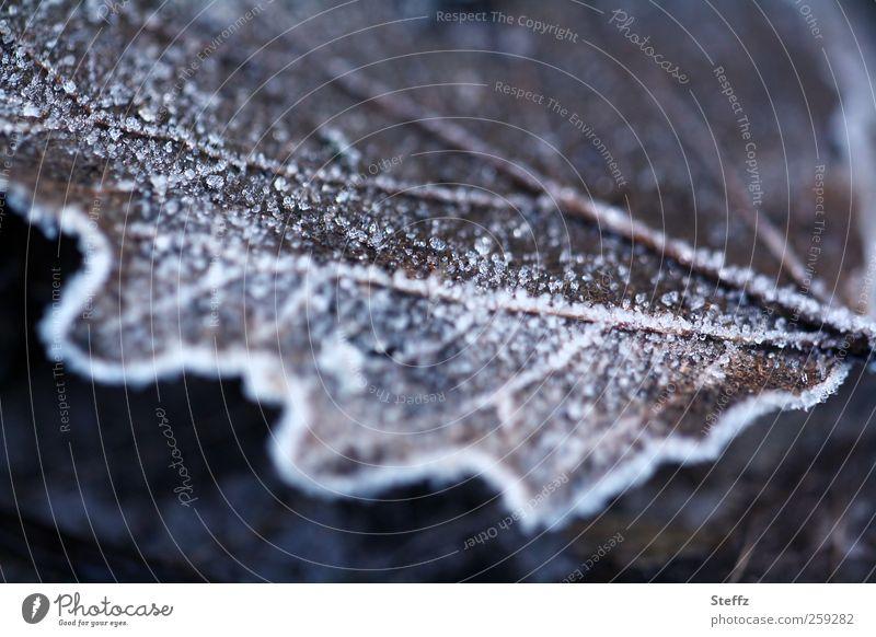 Raureif, nicht gezuckert Eis Eichenblatt Dezemberlicht Winterstimmung frieren Frost dunkelbraun kalt Winterlaub dunkelfärbung dunkles Licht eisig kalt Januar