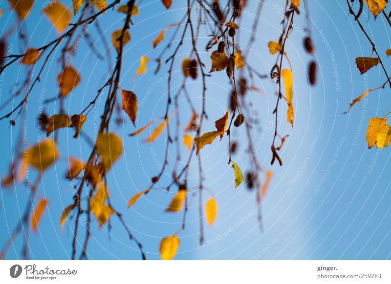 Blaugoldene Herbstimpression Himmel Natur blau Baum Pflanze Blatt Umwelt Luft Wetter Klima Ast Warmherzigkeit Schönes Wetter Vorhang