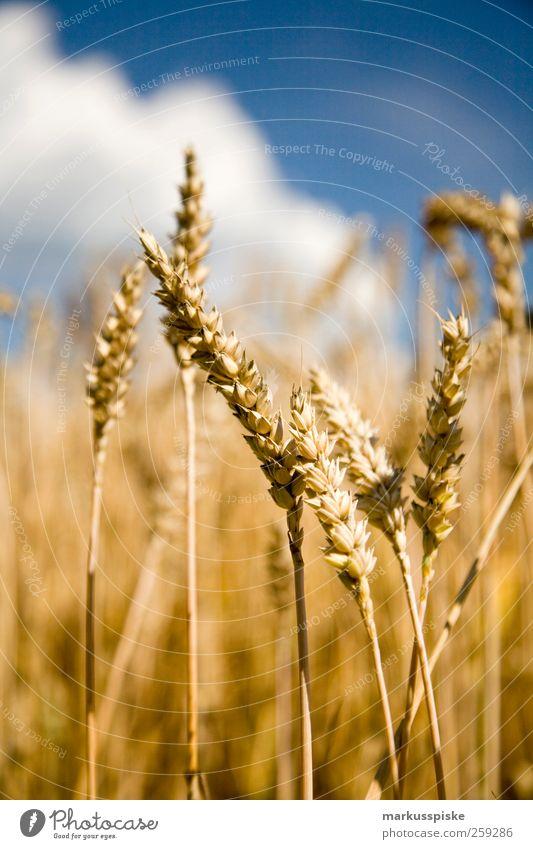 Weizenfeld Wiese Landschaft Zufriedenheit Feld Klima Getreide Landwirtschaft Jahreszeiten Ernte Ackerbau Forstwirtschaft Fortschritt Wolkenloser Himmel