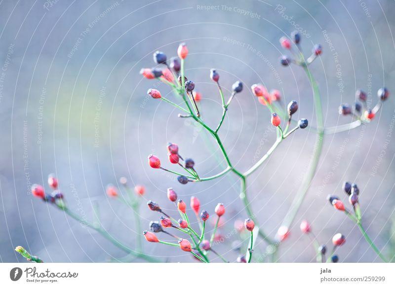 seed heads Natur blau grün rot Pflanze schwarz Umwelt Frühling natürlich ästhetisch Sträucher Fruchtstand Wildpflanze