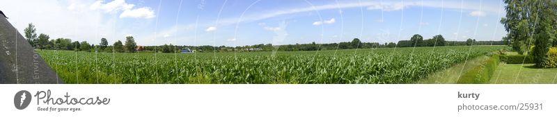 Maisfeld Feld groß Panorama (Bildformat) Ebene Mais Pflanze Maisfeld