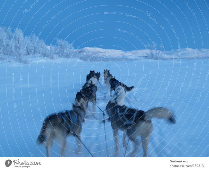 Fahrt ins Blaue Abenteuer Freiheit Winter Eis Frost Schnee Tier Hund Tiergruppe fahren laufen Unendlichkeit blau Kraft Horizont Husky Schlittenhund