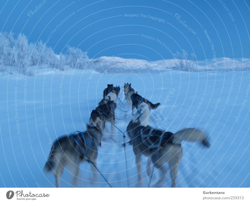 Fahrt ins Blaue blau Hund Winter Tier kalt Schnee Freiheit Horizont Eis Kraft laufen Abenteuer Frost Tiergruppe fahren Unendlichkeit