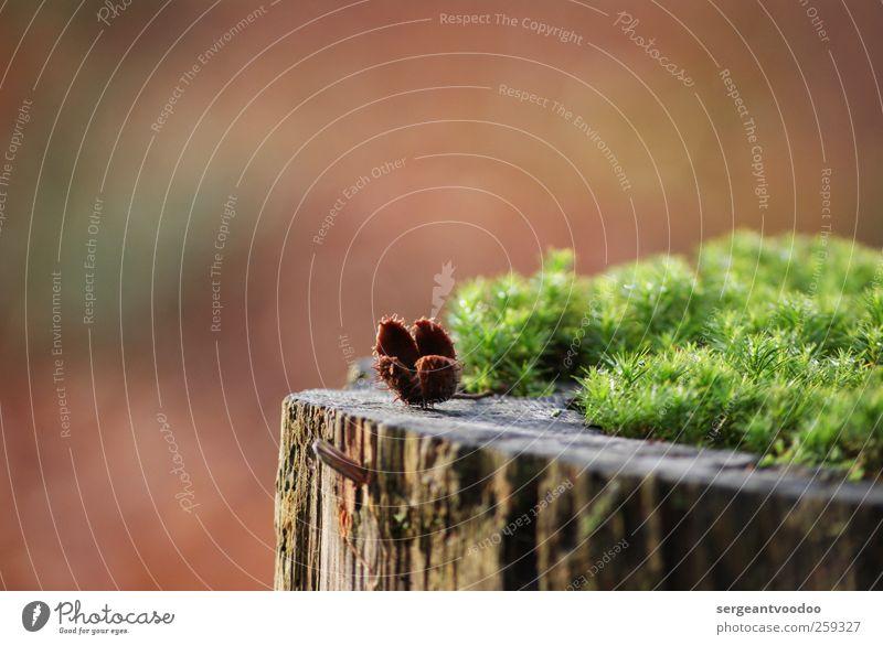 Baumstumpf mit Moos und Buchecker Natur grün schön Pflanze ruhig Umwelt Herbst Holz klein Garten Stil braun Stimmung Kraft Wandel & Veränderung Spitze