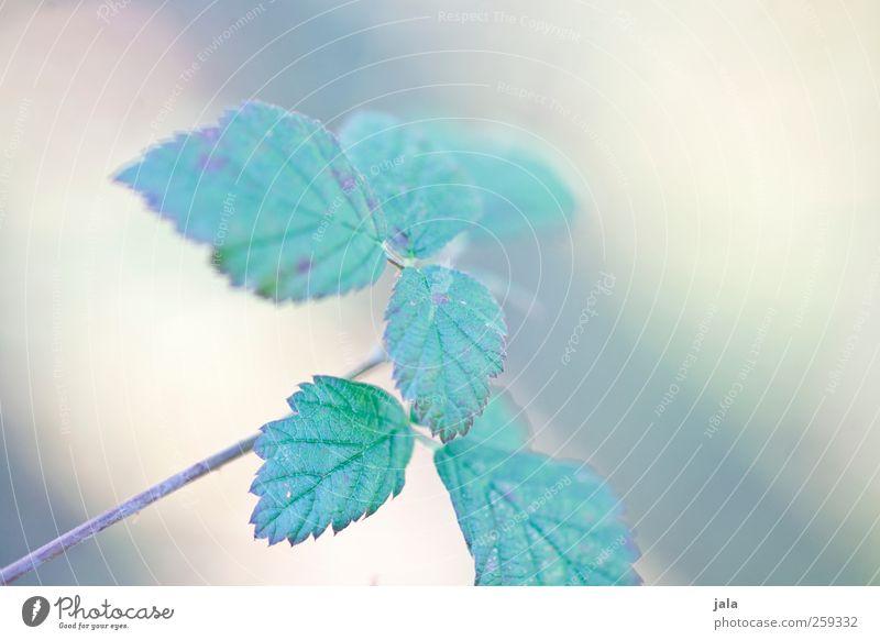 blackberry bush Umwelt Natur Pflanze Frühling Sträucher Blatt Nutzpflanze Wildpflanze ästhetisch natürlich grün Farbfoto Außenaufnahme Menschenleer Tag