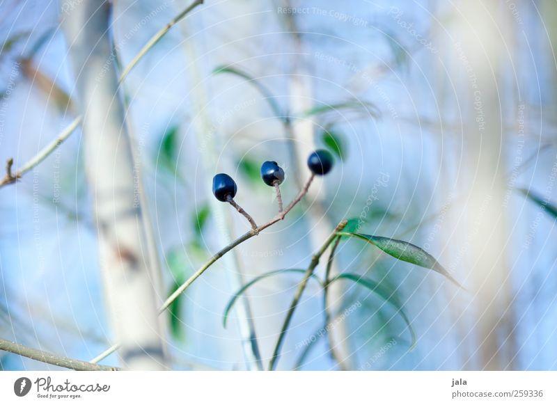 rowan berry Himmel Natur blau grün Pflanze Blatt schwarz Umwelt Frühling natürlich ästhetisch Sträucher Grünpflanze Wildpflanze