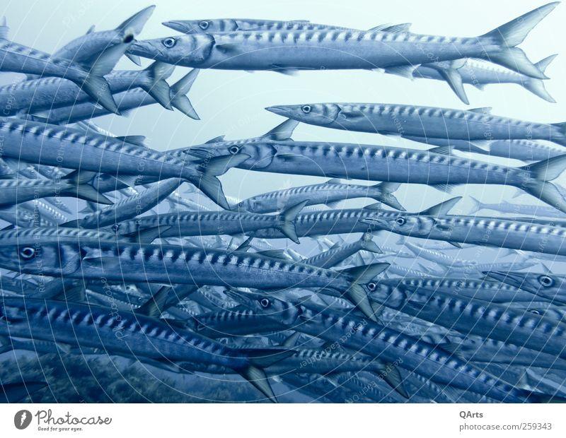Barrakudaschwarm tauchen Umwelt Tier Wasser Klimawandel Korallenriff Meer Fisch Schwarm Jagd Schwimmen & Baden elegant frei dünn blau Barracuda Italien Ustica